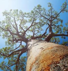 baobab-11